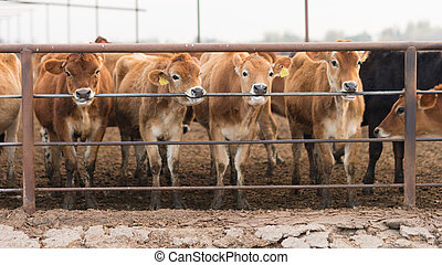 Cattle Chewing Knawing Metal Fence Rail Farm Ranch Livestock
