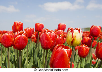Red tulips - Landscape with red tulips and one yellow...