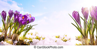 art spring flower background - snowdrops crocus flowers in...