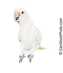 Beautiful white parrot bird isolated
