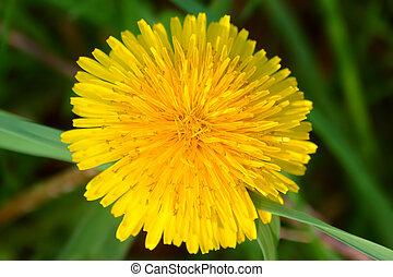 Dandelion Flower Illinois - Bright yellow dandelion flower...