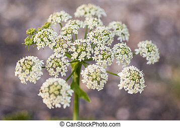 Cow parsley, Anthriscus sylvestris, with diffused background...