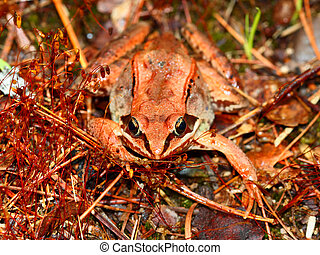 Wood Frog Northwoods Wisconsin - Wood Frogs Rana sylvatica...