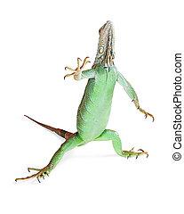 Iguana Standing Raising Hand - Funny photo of green iguana...