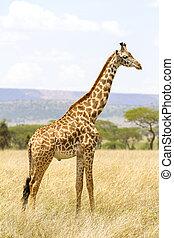 Long giraffe standing at the savannah in Serengeti - Giraffe...