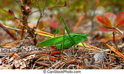 Fork-tailed Bush Katydid Wisconsin - Fork-tailed Bush...