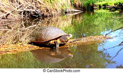 Blandings Turtle Basking Illinois - Blandings Turtle basking...