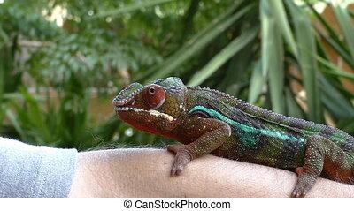 Chameleon close up - Chameleon holds tight on mans hand...