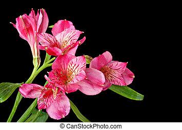 Peruvian Lily, Alstroemeria - Peruvian lily, Alstroemeria,...