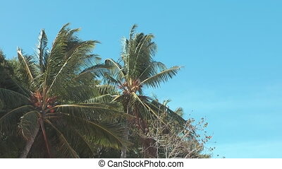 Palm tree - Philippines