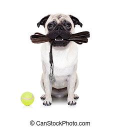 leash dog ready for a walk - pug dog with leather leash...