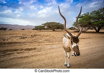 Big addax of Middle East - Big addax on Negev Desert,...