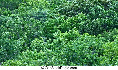 Woodland Forest Scenery - Deciduous forest trees at...