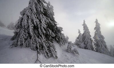 Winter snow storm blizzard, fir trees full of snow, ice...