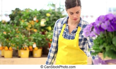 garden spring time concept, woman florist working primula...
