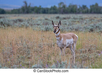 Pronghorn Antelope in Wyoming.