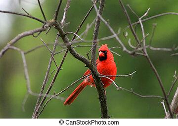 Cardinal - Beautiful Cardinal bird on the tree