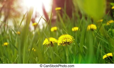 Dandelions in the meadow. Bright flowers dandelions on...
