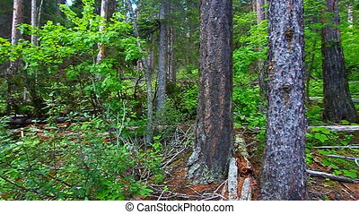 Forest Landscape Glacier Park - Lush green vegetation covers...