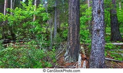 Forest Landscape Glacier Park - Lush green vegetation covers...