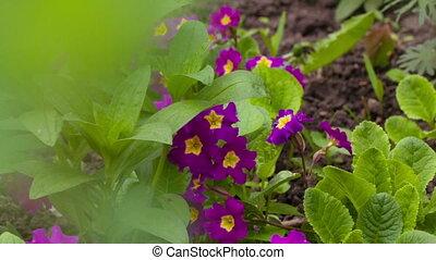 Purple Flowerd Petunia - Purple flowers in a garden