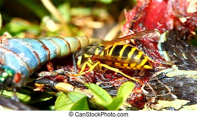 Eastern Yellowjacket Eating Snake - Eastern Yellowjacket...