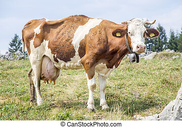 Skinny cow covered by flies standing on a pasture