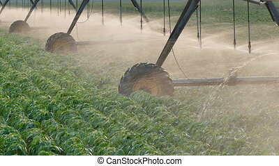 Agriculture, soybean field watering - Soybean field with...