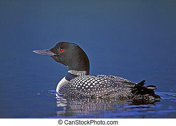 Common Loon swimming in lake - Common Loon or Great Northern...
