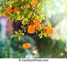 Tangerine in garden