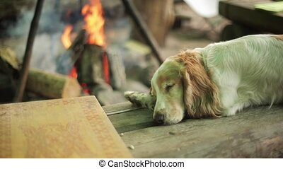 Reddish dog sleep on wooden surface Campfire on background...