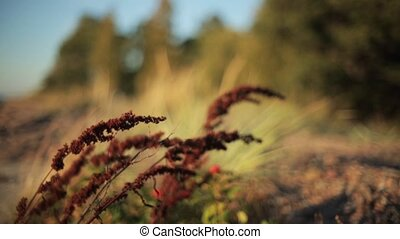 Reddish grass shakes from wind. Summer sunny countryside....