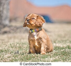 Cavalier King Charles Spaniel Puppy - Adorable puppy,...
