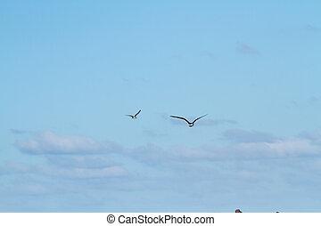 voando, Gaivotas,