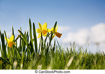 Yellow narcissus - Bright yellow narcissus against bright...