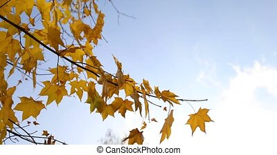 Autum Foliage - Video of autumn foliage - behind blue sky