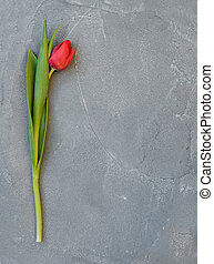 Ped spring tulip on a grey concrete stone background, top...