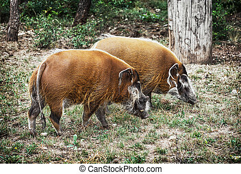 Pair of Red river hog (Potamochoerus porcus), animal scene -...