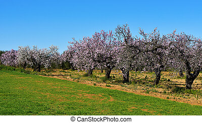almond trees in full bloom