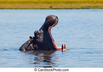 Big hippo with wide open mouth in the river - Big hippo with...