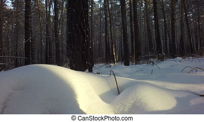 Snow drifts covered the sun in winter mixed forest - Snow...