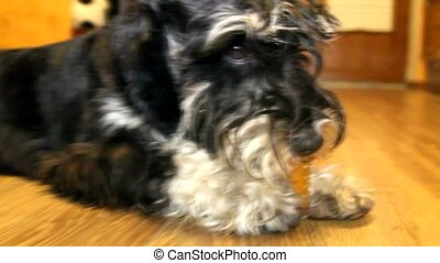 Serious dog Miniature Schnauzer - A serious dog with toy...