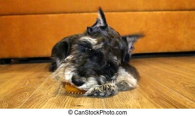 a dog at home Miniature schnauzer - a dog at home is on the...
