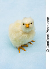 Cute Baby Chick - A baby chick on a blue background, Cute...
