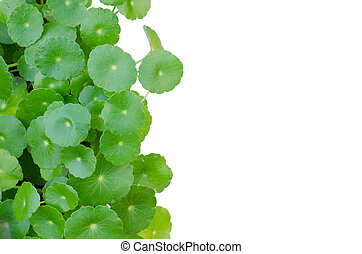 Water Pennywort the scientific name is Hydrocotyle umbellata...