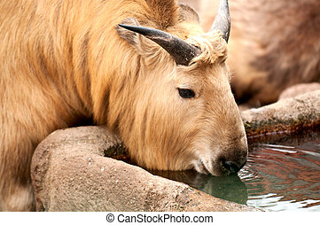 Sichuan Takin - Sichuan takin is drinking water