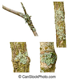 Lichen on a tree branch isolated on white background