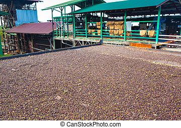 Coffee farm - Coffee beans are drying at coffee farm, Big...