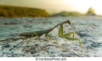 Close up of green praying mantis on a white stone. Macro, 4k