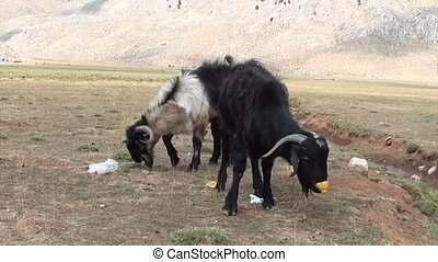 Two goats eating cast-off - Two goats eating pickings from...